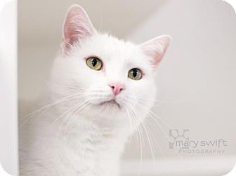 Domestic Shorthair Cat for adoption in Reisterstown, Maryland - Bubba Gump