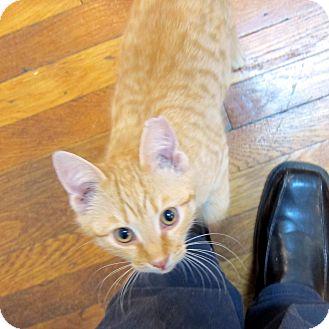 American Shorthair Kitten for adoption in Brooklyn, New York - Niles