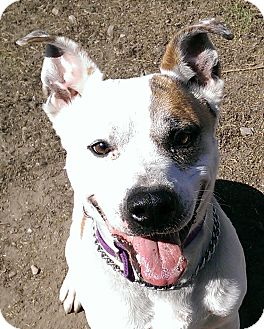 Shepherd (Unknown Type)/American Bulldog Mix Dog for adoption in Dundee, Michigan - Scooter