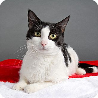 Domestic Mediumhair Cat for adoption in Wilmington, Delaware - Marie