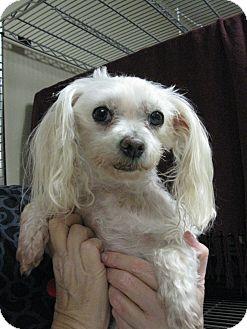 Maltese Mix Dog for adoption in Salem, Oregon - Lulu