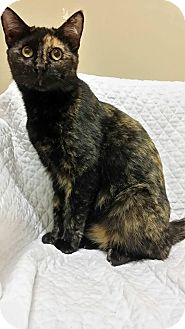Domestic Shorthair Cat for adoption in Cannelton, Indiana - Harmony
