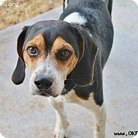Adopt A Pet :: Charlie - Norman, OK