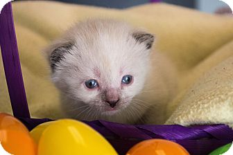 Ragdoll Kitten for adoption in Seneca, South Carolina - June $175
