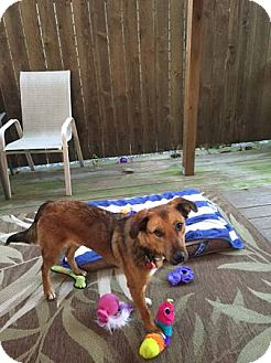 Shepherd (Unknown Type) Mix Dog for adoption in METAIRIE, Louisiana - Bowie