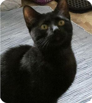 Domestic Shorthair Kitten for adoption in Des Moines, Iowa - Ashley