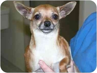 Chihuahua Dog for adoption in Pembroke Pines, Florida - Ginger Girl