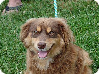 Australian Shepherd Dog for adoption in Haggerstown, Maryland - Hayden