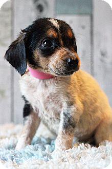 Pointer Mix Puppy for adoption in Waldorf, Maryland - Pauline