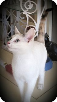 Siamese Kitten for adoption in Fairborn, Ohio - Polly
