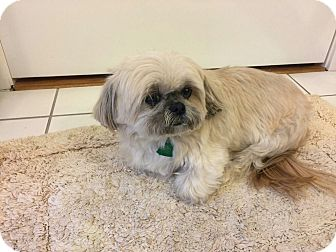 Shih Tzu Mix Dog for adoption in Norwalk, Connecticut - Angel - MEET ME