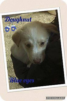 Australian Shepherd/Belgian Malinois Mix Puppy for adoption in Brunswick, Maine - Doughnut