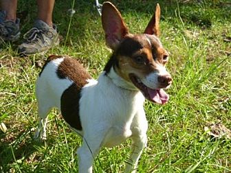 Rat Terrier Mix Dog for adoption in Conway, South Carolina - Monty