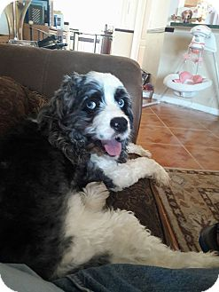 Cocker Spaniel Dog for adoption in Cape Coral, Florida - Moses