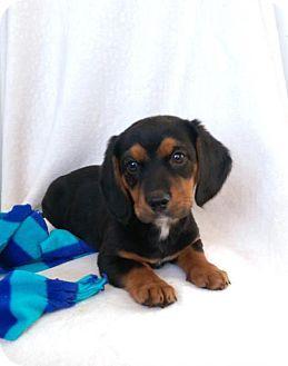 Beagle/Dachshund Mix Puppy for adoption in Elkton, Maryland - Mylo