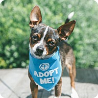 Adopt A Pet :: Shadow Chi - Pacific Grove, CA