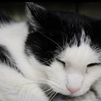 Adopt A Pet :: Nelson - Houghton, MI
