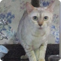 Adopt A Pet :: Smootchie (spotted snow Bengal - Witter, AR