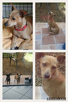 Chihuahua/Fox Terrier (Smooth) Mix Puppy for adoption in Homestead, Florida - Mickey