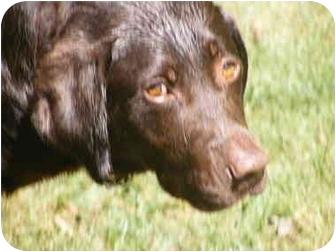 Labrador Retriever Dog for adoption in Toledo, Ohio - LEON~NeedFoster