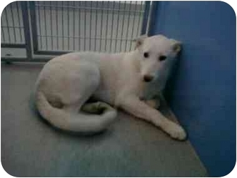 German Shepherd Dog Mix Dog for adoption in Jacksonville, Florida - Alpine