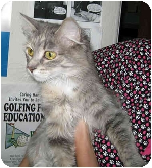 Domestic Shorthair Cat for adoption in Ottawa, Illinois - Baby Girl