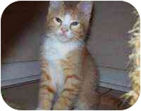 Domestic Mediumhair Kitten for adoption in Tampa, Florida - Brando