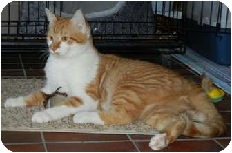 Domestic Shorthair Cat for adoption in Des Moines, Iowa - Jimmy