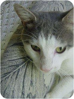 Domestic Shorthair Cat for adoption in Marshalltown, Iowa - Stephen
