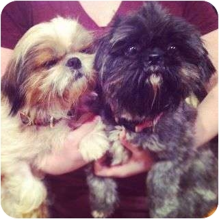 Shih Tzu Dog for adoption in New York, New York - Lexi