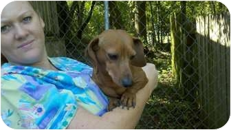 Dachshund Dog for adoption in Niceville, Florida - Rootie