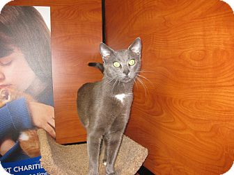 Domestic Shorthair Cat for adoption in Farmingdale, New York - Grant