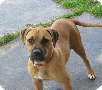 American Bulldog/Bullmastiff Mix Dog for adoption in Jesup, Georgia - Sporty