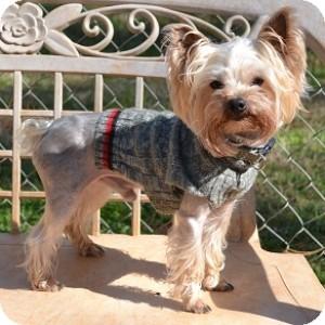 Yorkie, Yorkshire Terrier Mix Dog for adoption in Athens, Georgia - Zippy