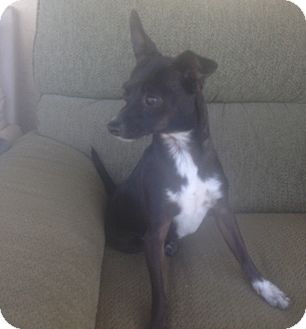 Chihuahua Mix Dog for adoption in Oceanside, California - Poppy