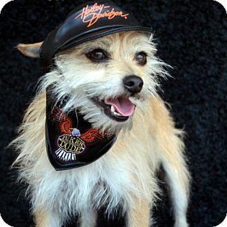 Chihuahua/Cairn Terrier Mix Dog for adoption in Bridgeton, Missouri - Peanut