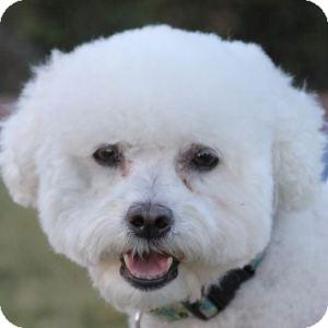 Bichon Frise Mix Dog for adoption in La Costa, California - Allie