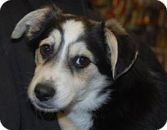 Shepherd (Unknown Type) Mix Puppy for adoption in Brooklyn, New York - Lori