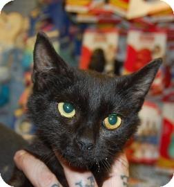 Domestic Shorthair Kitten for adoption in Brooklyn, New York - Vegemite