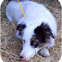 Adopt A Pet :: Ace - Mesa, AZ