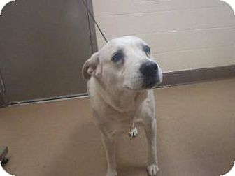 Labrador Retriever Mix Dog for adoption in Las Vegas, Nevada - Bella
