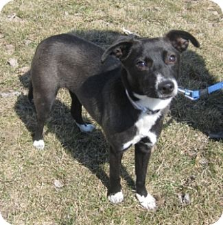 Terrier (Unknown Type, Small)/Miniature Pinscher Mix Puppy for adoption in Mt. Prospect, Illinois - Jillian