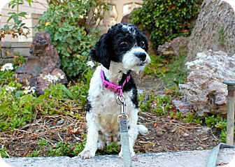 Poodle (Miniature) Mix Dog for adoption in Los Angeles, California - Lila May - 9 pounds