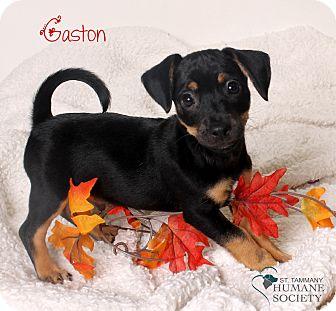 Terrier (Unknown Type, Small) Mix Puppy for adoption in Covington, Louisiana - Gaston