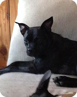 Boston Terrier Mix Dog for adoption in Point Pleasant, Pennsylvania - ALICE-ADOPTION PENDING