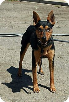Rat Terrier Dog for adoption in Winters, California - Minnie