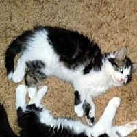 Domestic Mediumhair Cat for adoption in Pittsburgh, Pennsylvania - Domenico