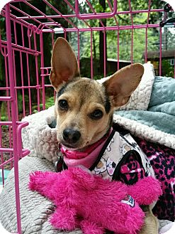 Jack Russell Terrier/Terrier (Unknown Type, Small) Mix Dog for adoption in Lodi, California - Tara