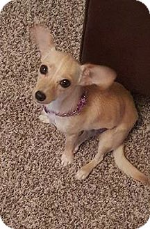 Cairn Terrier/Chihuahua Mix Puppy for adoption in Phoenix, Arizona - Effie