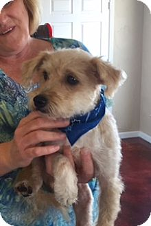 Terrier (Unknown Type, Small) Mix Dog for adoption in Plano, Texas - Chance
